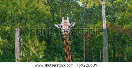 Giraffe looking for food during the daytime. #759226609