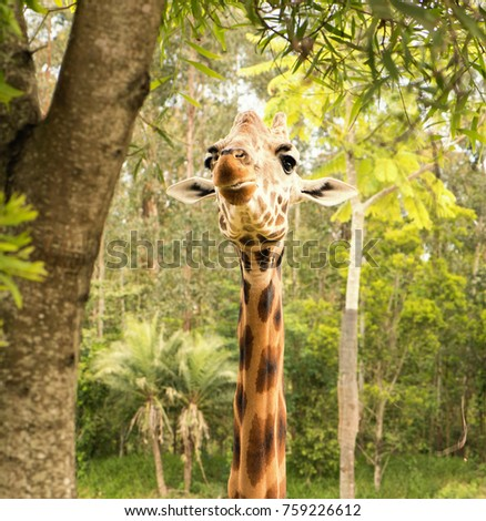 Giraffe looking for food during the daytime. #759226612