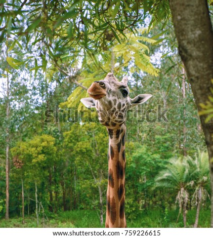 Giraffe looking for food during the daytime. #759226615