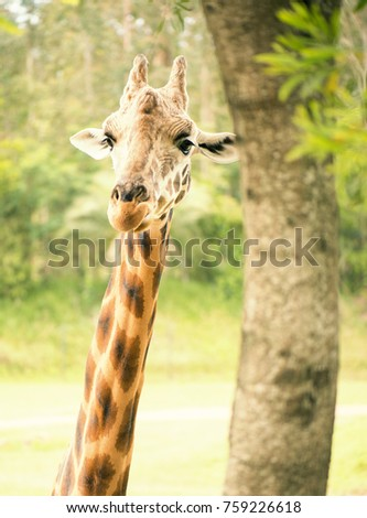 Giraffe looking for food during the daytime. #759226618