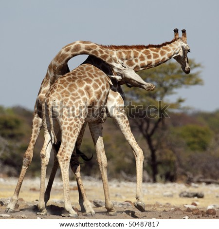 Giraffe males fighting