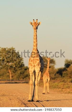 Giraffe Mom - Wildlife Background from Africa - Animal Babies in the Wild