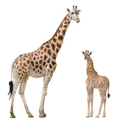 Giraffe mother and baby isolated on white background