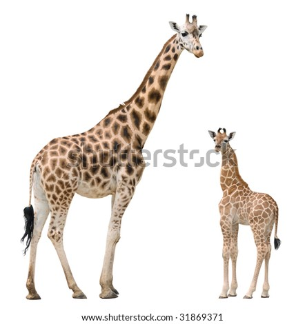 Giraffe mother and baby isolated on white background - stock photo