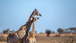 Giraffe mother bonding her calf in Kruger National park, South Africa ; Specie Giraffa camelopardalis family of Giraffidae