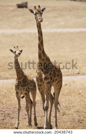Giraffe mother walking with cub close by