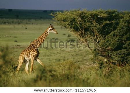 Giraffe, Nairobi National Park, Kenya