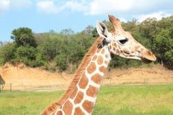 Giraffe nature animal beauty Jirafa