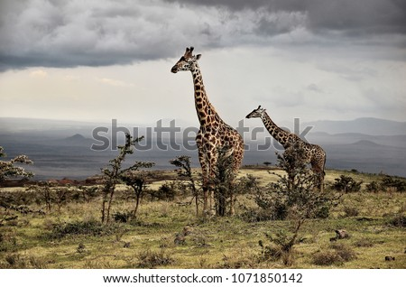 Giraffe - Ngorongoro Conservation Area, Tanzania. 03/16/2011. On a cloudy day, two tall giraffes stand out above a beautiful unspoiled landscape where African nature reigns supreme. #1071850142