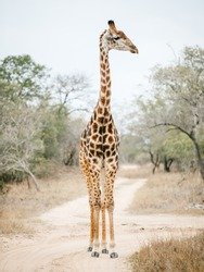 Giraffe on Game Reserve near Cape Town South Africa