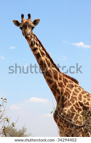 Giraffe on sky . Ruaha National Park, Tanzania, Central Africa.