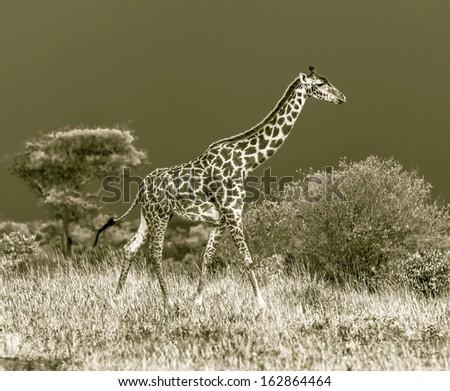 Giraffe on the background of a thundercloud in Masai Mara National Reserve - Kenya, Eastern Africa (stylized retro)