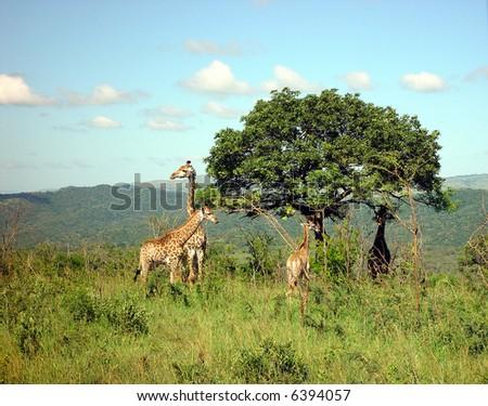 Giraffe on the savanna in South Africa - stock photo