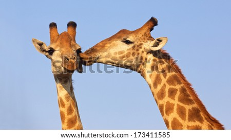 Giraffe pair kissing in the Kruger National Park, South Africa. Suitable as wildlife image or for special occasions such as Valentine\'s Day.