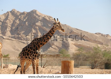 Giraffe Photography from a zoo #1010642503