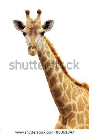 Giraffe portrait - stock photo
