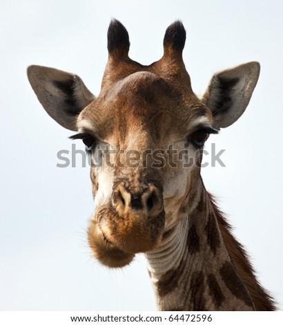 Giraffe portrait eating in sunshine