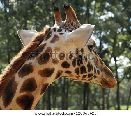 Giraffe portrait in Kenya Africa - stock photo
