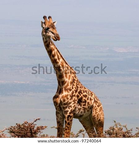 Giraffe Portrait on the Serengeti Tanzania Africa