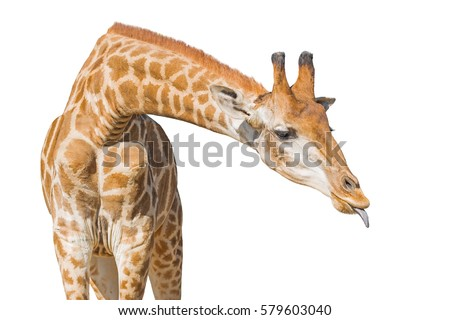 Giraffe put out tongue. Isolated on a white background. Clipping paths included #579603040