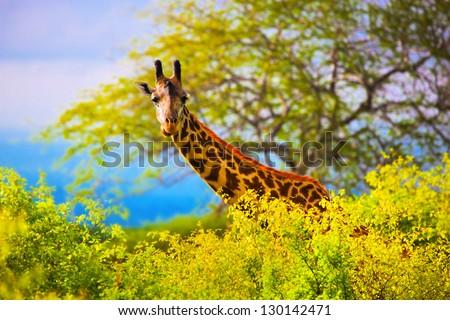 Giraffe 's head standing out from the bush. Safari in Tsavo West, Kenya, Africa #130142471