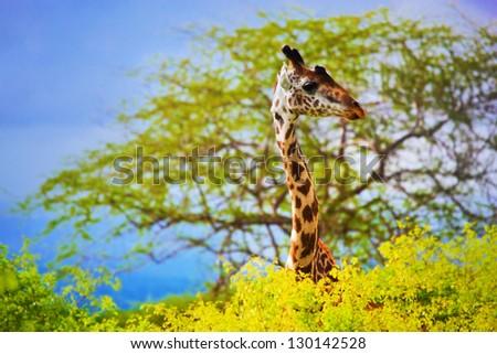 Giraffe 's head standing out from the bush. Safari in Tsavo West, Kenya, Africa #130142528