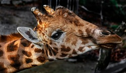 Giraffe'`s head. The tallest living terrestrial animal and the largest ruminant. Latin name - Giraffa camelopardalis
