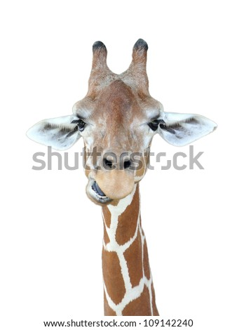 Giraffe's head with isolated background