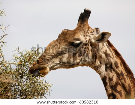 giraffe shows his tongue closeup