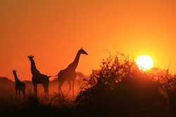 Giraffe Silhouette - African Wildlife Background - Beauty in Color and Freedom