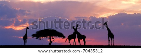 Giraffe sillhouetted with acacia tree against sunset