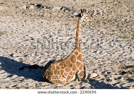 Giraffe sitting down in sand