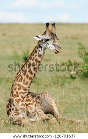 Giraffe sitting on a grasslands (Masai Mara; Kenya)