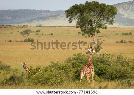 Giraffe standing in the bush, Masai Mara, Kenya