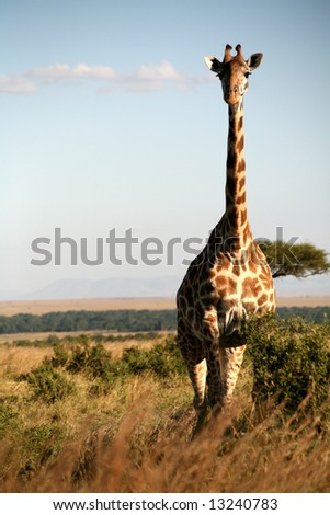 Giraffe standing in the grasslands of the Masai Mara Reserve (Kenya)