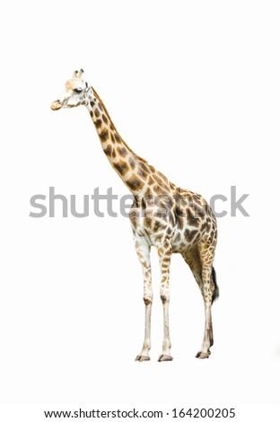 giraffe standing isolated white background
