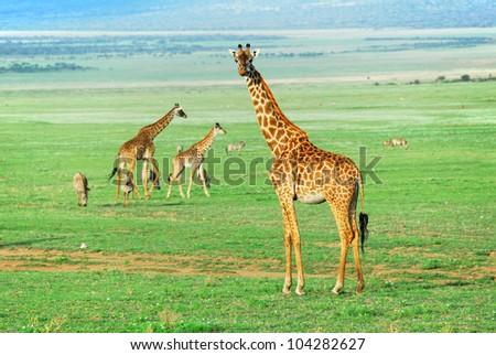 Giraffe standing on meadow in Ngorongoro, Tanzania