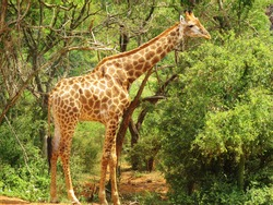Giraffe standing tall, and standing out.
