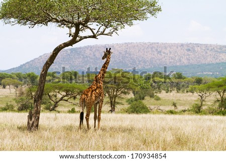 Giraffe standing under a tree and rests in the shadow. Photography from Tanzania, Serengeti Africa. #170934854