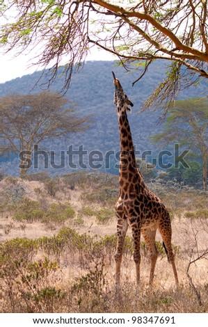 Giraffe sticks its tongue out