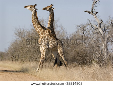 Giraffe tangled during a fight in Kruger National Park South Africa