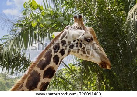 Giraffe The giraffe is the tallest land animal on the planet. Giraffes live in the savannas of Africa. #728091400