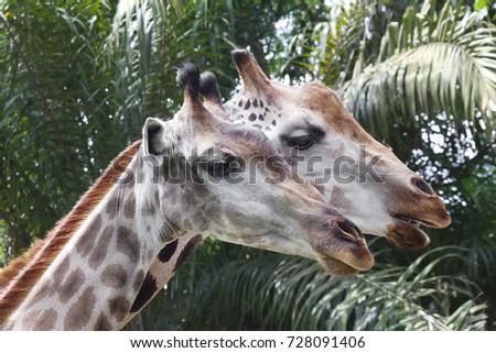 Giraffe The giraffe is the tallest land animal on the planet. Giraffes live in the savannas of Africa. #728091406