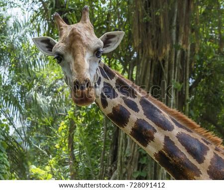Giraffe The giraffe is the tallest land animal on the planet. Giraffes live in the savannas of Africa. #728091412