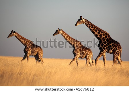 Giraffe trio in late afternoon light, Etosha NP, Namibia