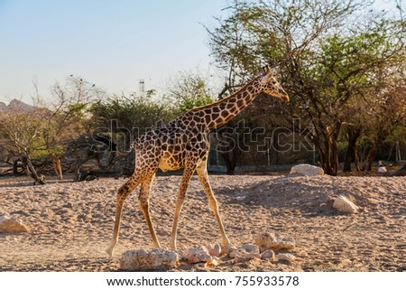 Giraffe walking in a zoo