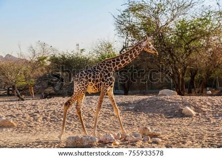 Giraffe walking in a zoo