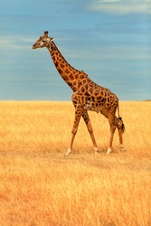 Giraffe walking in Masai Mara, Kenya during the dry season