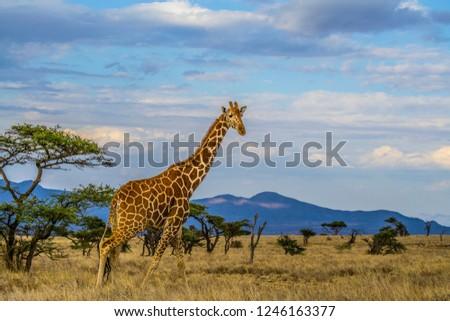 Giraffe walking tall on dry African savanna landscape