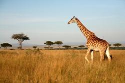 Giraffe walking through the grasslands (Masai Mara; Kenya)